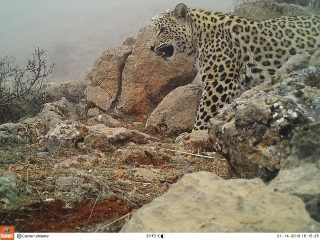 Vivacell-MTS: Another Caucasian leopard spotted by cameras in Armenia