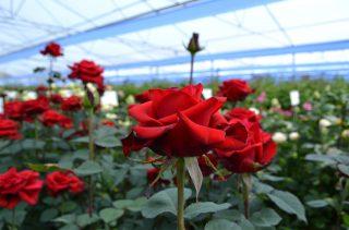 INVEST IN ARMENIA. Բարձրորակ վարդերի արտադրության ներդրումային ծրագիր
