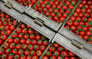 ՀՀ գյուղատնտեսության նախարարությունը հորդորում է իրականացնել ագրոմիջոցառումներ լոլիկի հարավամերիկյան ցեցի դեմ