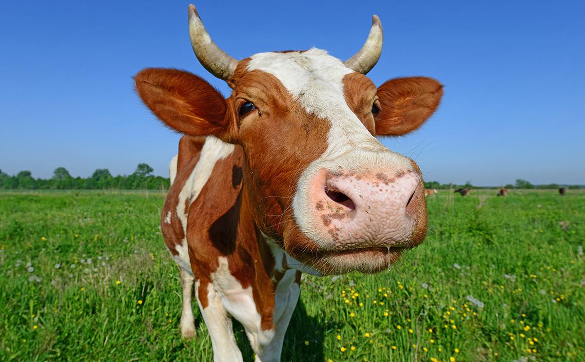 Կառավարությունը 10%-ով սուբսիդավորելու է շահառուի վարկը խոշոր եղջերավոր կենդանիներ ձեռք բերելու համար