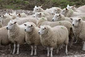 2019-2023թթ. ոչխարաբույծներն ավելի մատչելի պայմաններով ձեռք կբերեն կենդանիներին