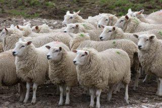 «Ժամանակ». Կառավարությունը կաջակցի ոչխարների ավելացմանը