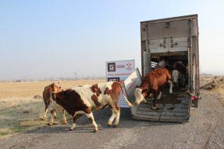 Տավարաբուծության զարգացման ծրագրի շրջանակներում Հայաստան է ներկրվել ևս 30 տոհմային երինջ