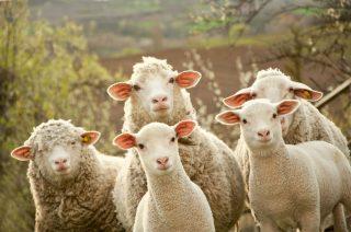 Պետության աջակցությամբ ներկրվել է ավելի քան 200 գլուխ ոչխար