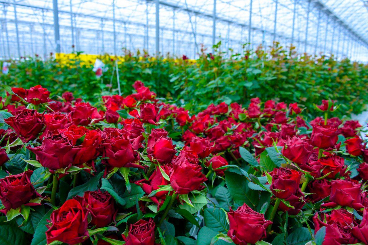 Ապարանում հիմնվել է վարդերի «քաղաք». տեսանյութ