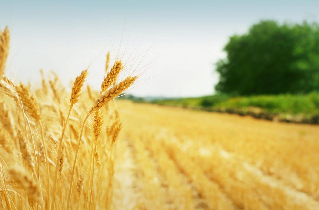 Կառավարությունը կսուբսիդավորի 1 կգ ցորենի համար սահմանված նվազագույն շահավետ գնի 70 դրամը