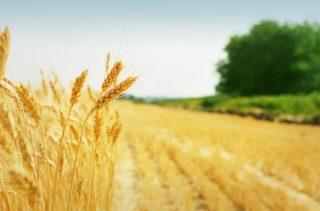 Աշնանացան ցորենի սերմերի գինը նախատեսվում է սուբսիդավորել կամ փոխհատուցել
