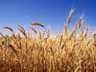 Сбор зерна в России сократился на 17%
