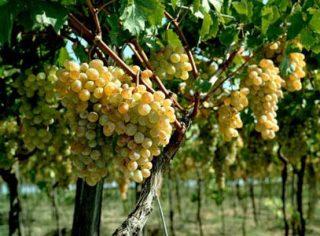 В этом году экспорт винограда более чем удвоился