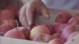 История успеха - Интенсивный яблоневый сад