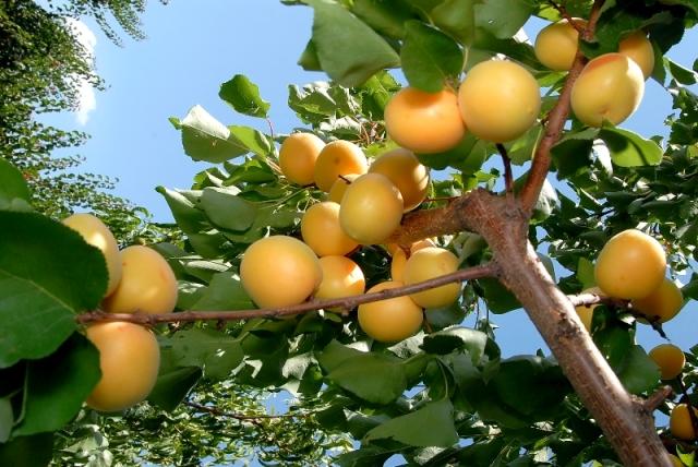Այս տարի ՀՀ-ում արտադրվել է շուրջ 263 հազար տոննա բանջարեղեն և 161 հազար տոննա պտուղ